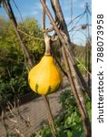 Small photo of Winter Squash (Cucurbita pepo) on an Allotment in a Vegetable Garden in Rural Devon, England, UK