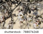 almond blossom from the almond... | Shutterstock . vector #788076268