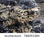 Goose Barnacles And Mussels...