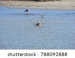 gulls on the mediterranean ... | Shutterstock . vector #788092888