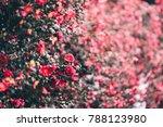Camellia Of Jeju Island  Korea