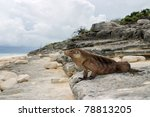 Cuban Iguana  Wildlife