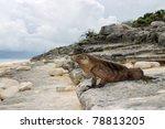 Cuban Iguana  Wildlife