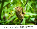 The Philippine Tarsier  Carlit...