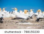 gannet birds colony  cape... | Shutterstock . vector #788150230
