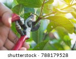 gardener pruning trees with...   Shutterstock . vector #788179528