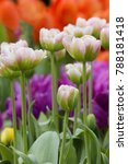 close up pink green tulips in a ...   Shutterstock . vector #788181418