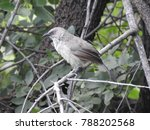 Arrow Marked Babbler Perched O...