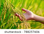 Hand Holding Rice In The Paddy