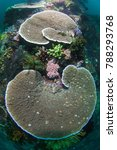 Small photo of Two huge table corals (Acropora)