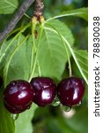 Black Cherries Ripening On The...