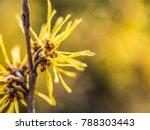 witch hazel blossom, detail shot