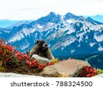 Marmot At Mount Rainier...