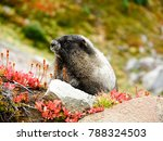 Marmot at Mount Rainier National Park Washington standing on a rock with mountain background.