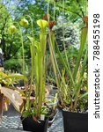 carnivorous plant sarracenia   Shutterstock . vector #788455198