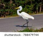 great egret  ardea alba ...   Shutterstock . vector #788479744