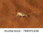 The Grasshopper Poekilocerus...