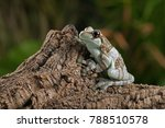 amazon milk frog ... | Shutterstock . vector #788510578