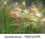 Foxtail Barley   A Close Up...