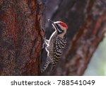 Ladder Backed Woodpecker  Male