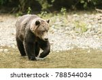 grizzly bear hunting for fish... | Shutterstock . vector #788544034