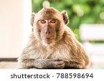 portrait of macaque monkey... | Shutterstock . vector #788598694