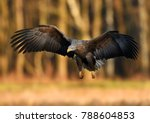 white tailed eagle  haliaeetus... | Shutterstock . vector #788604853