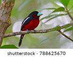 beautiful broadbill bird  black ...   Shutterstock . vector #788625670