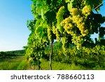 ripe white wine grapes at... | Shutterstock . vector #788660113