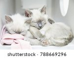 Stock photo two tiny little siamese kittens sleeping and cuddling and hugging each other 788669296