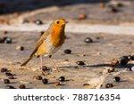 european robin erithacus... | Shutterstock . vector #788716354