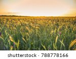 Field With Wheat Grain At Sunset