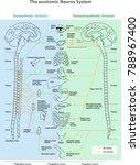 the anotomic neuros system.... | Shutterstock .eps vector #788967400