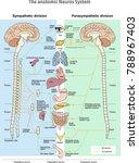 The Anotomic Neuros System....