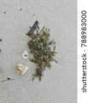 Small photo of On the beach are coral, shell, branch and brown seaweed (Sargassum sp). It's leaves are quite long, the base shaped like a wedge, pointed tip leaf edge like a notch, the air bag is oval.