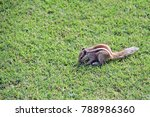 A Chipmunk Eating On Grass