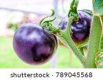 fresh purple heirloom tomatoes... | Shutterstock . vector #789045568