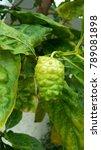 noni thai herbs multifunction   Shutterstock . vector #789081898