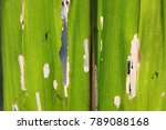 Small photo of The leaves corn after the worm-eaten.