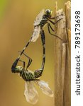 Dragonfly Mating On Twigs