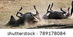 Zebras Rolling In The Dust