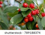 Fragrant Ripe Juicy Cherry On ...