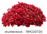 red bush isolated on white... | Shutterstock . vector #789220720