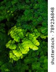 Small photo of Brittle Maidenhair Fern (Adiantum tenerum)