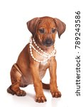 red haired puppy ridgeback dog... | Shutterstock . vector #789243586
