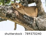 Cute Lioness Sleeping On A Tre...