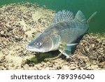 Freshwater Fish Pike Perch ...