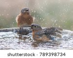 Two Female Eastern Bluebirds...