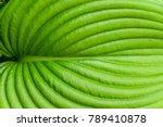 hosta leaf close up. hosta   an ... | Shutterstock . vector #789410878
