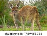 Brown Kangaroo Grazing In The...